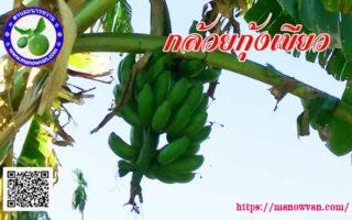 กล้วยกุ้งเขียว