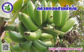 กล้วยหอมสายน้ำผึ้ง