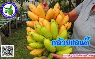 กล้วยแลนดี้