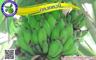 กล้วยตานี