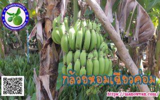 กล้วยหอมเขียวค่อม