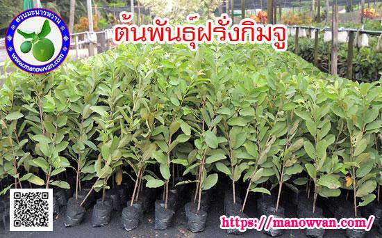 ต้นฝรั่งกิมจู