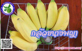 กล้วยนางพญา