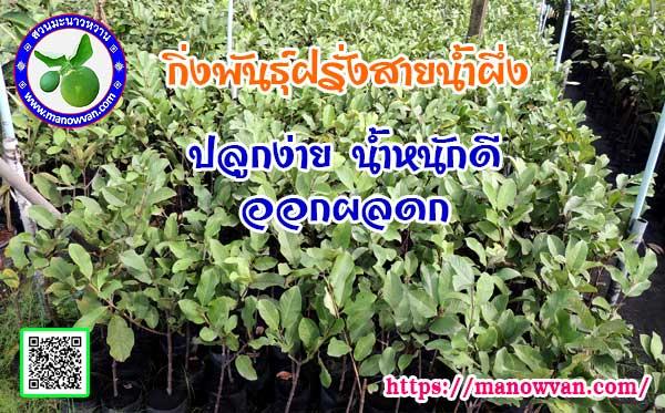 ต้นฝรั่งสายน้ำผึ้ง